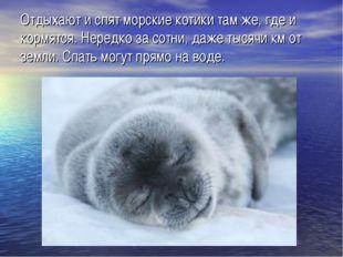 Отдыхают и спят морские котики там же, где и кормятся. Нередко за сотни, даже
