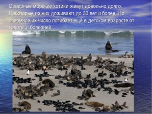 Северные морские котики живут довольно долго. Некоторые из них доживают до 30