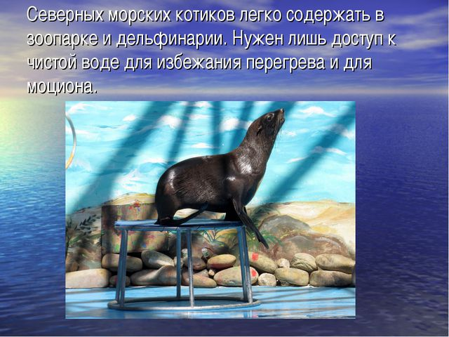 Северных морских котиков легко содержать в зоопарке и дельфинарии. Нужен лишь...