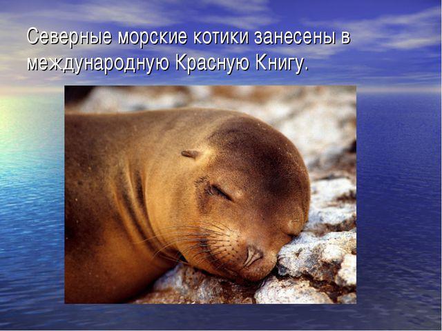 Северные морские котики занесены в международную Красную Книгу.