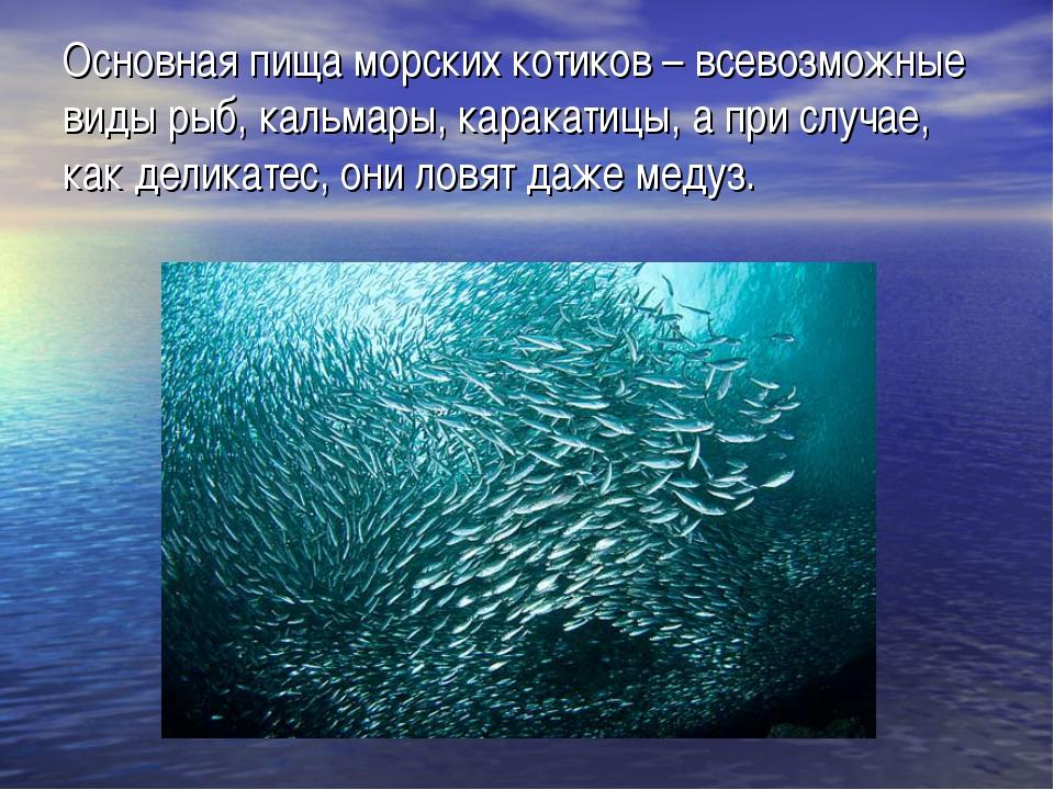 Основная пища морских котиков – всевозможные виды рыб, кальмары, каракатицы,...