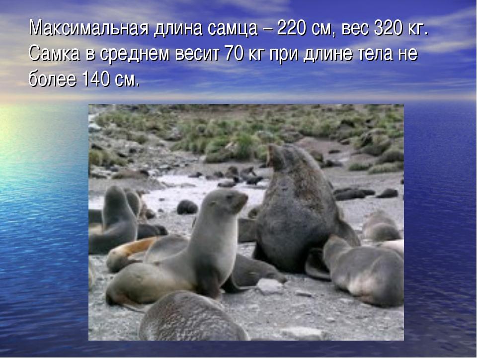 Максимальная длина самца – 220 см, вес 320 кг. Самка в среднем весит 70 кг пр...