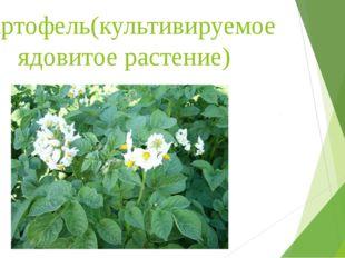 Картофель(культивируемое ядовитое растение)