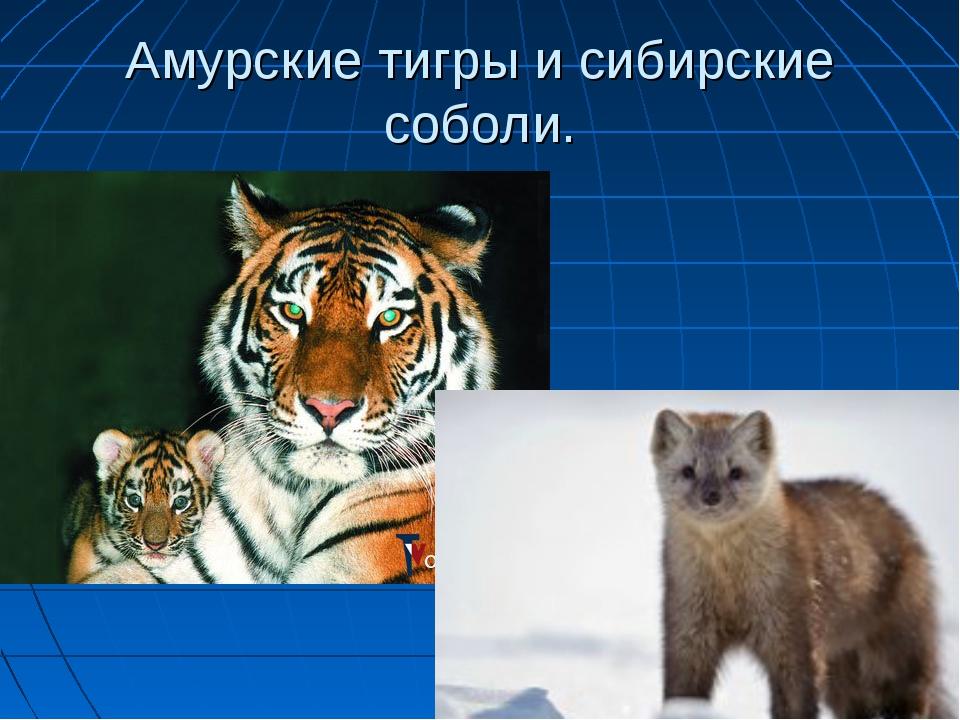 Амурские тигры и сибирские соболи.