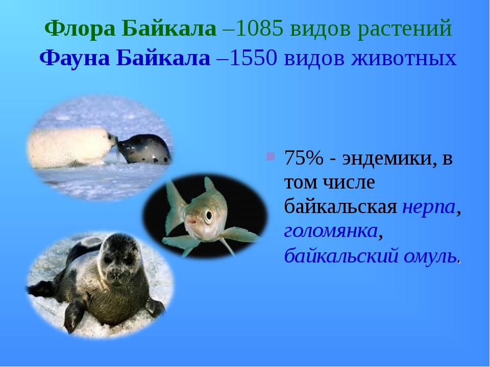 Флора Байкала –1085 видов растений Фауна Байкала –1550 видов животных 75% - э...