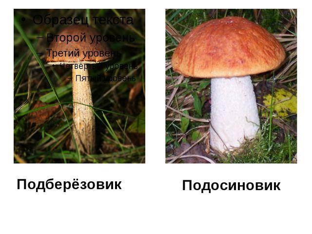 Подосиновик Подберёзовик