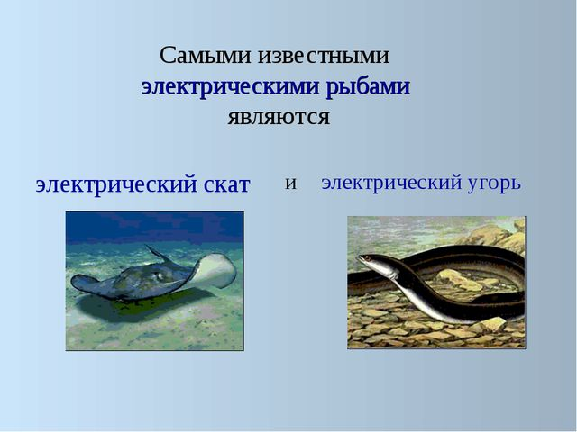 Самыми известными электрическими рыбами являются электрический скат электрич...