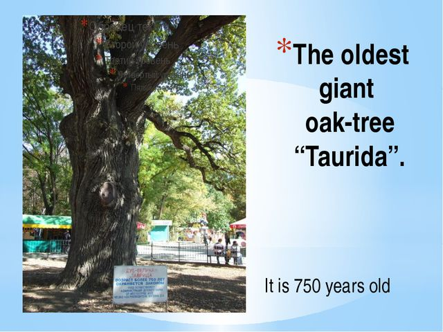 "The oldest giant oak-tree ""Taurida"". It is 750 years old"