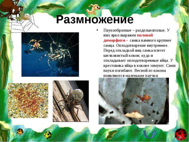 Размножение Паукообразные – раздельнополые. У них ярко выражен половой диморф...