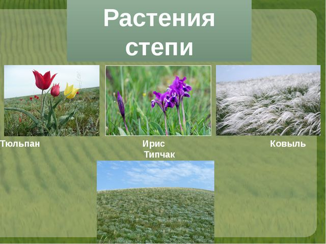 Растения степи Тюльпан Ирис Ковыль Типчак