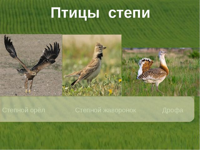 Птицы степи Степной орёл Степной жаворонок Дрофа