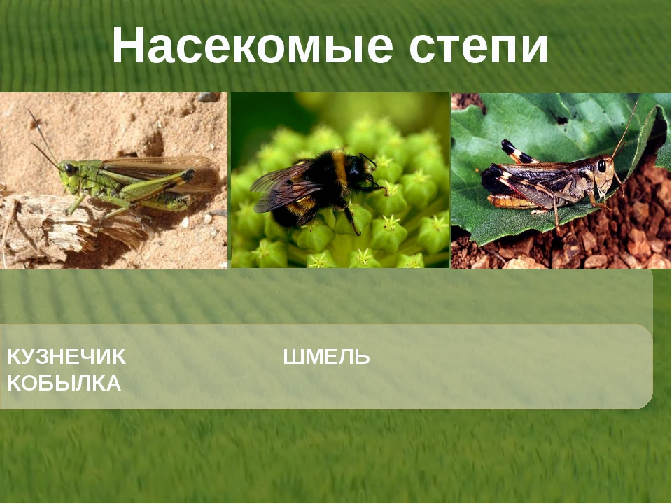 Насекомые степи КУЗНЕЧИК ШМЕЛЬ КОБЫЛКА