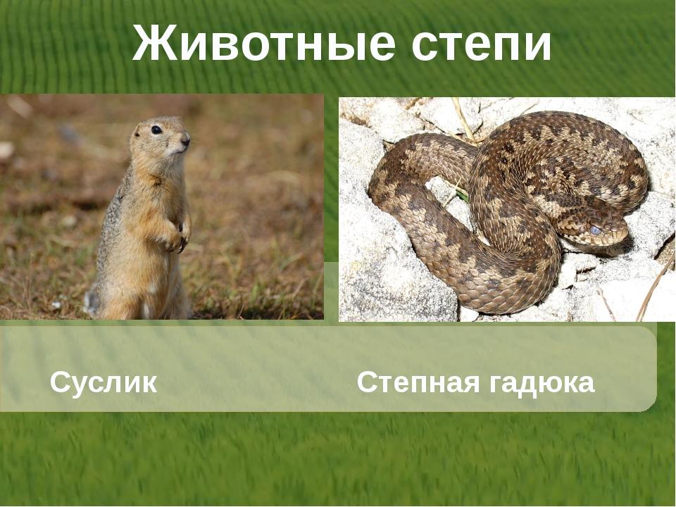 Животные степи Суслик Степная гадюка