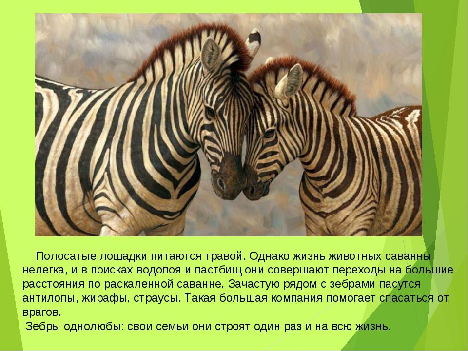 Полосатые лошадки питаются травой. Однако жизнь животных саванны нелегка, и...