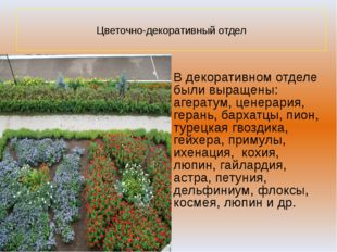Цветочно-декоративный отдел В декоративном отделе были выращены: агератум, ц