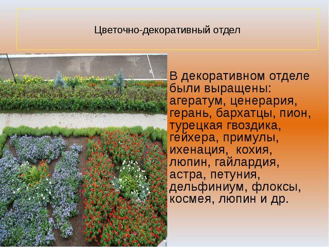 Цветочно-декоративный отдел В декоративном отделе были выращены: агератум, ц...