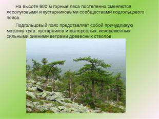 Навысоте 600м горные леса постепенно сменяются лесолуговыми икустарниковы