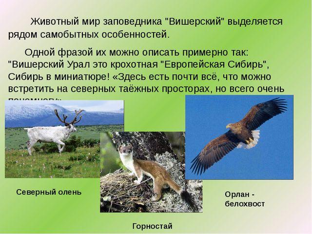 """Животный мир заповедника """"Вишерский"""" выделяется рядом самобытных особенносте..."""