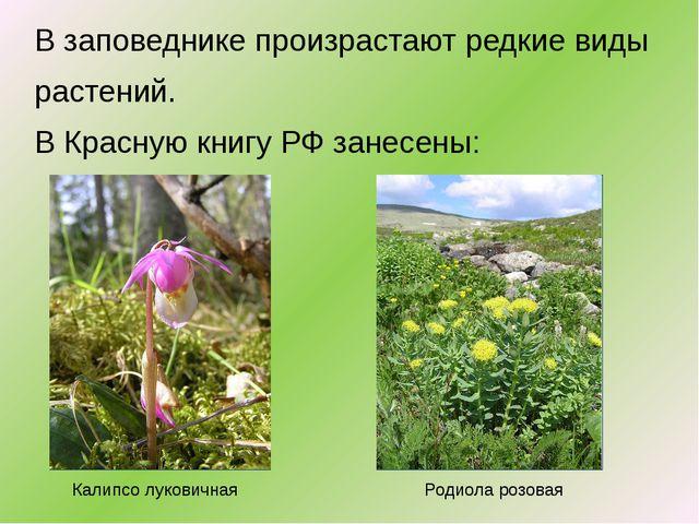 В заповеднике произрастают редкие виды растений. В Красную книгу РФ занесены:...