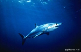 http://njscuba.net/zzz_biology/sharks_shortfin_mako_shark.jpg