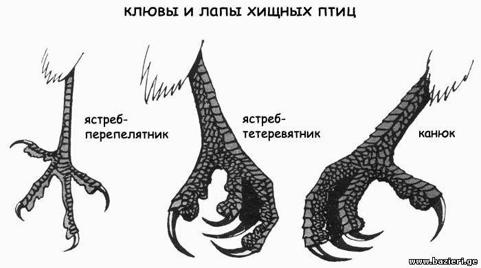 Калининградский охотничий клуб - Охота и охотничье хозяйство - Хищные птицы