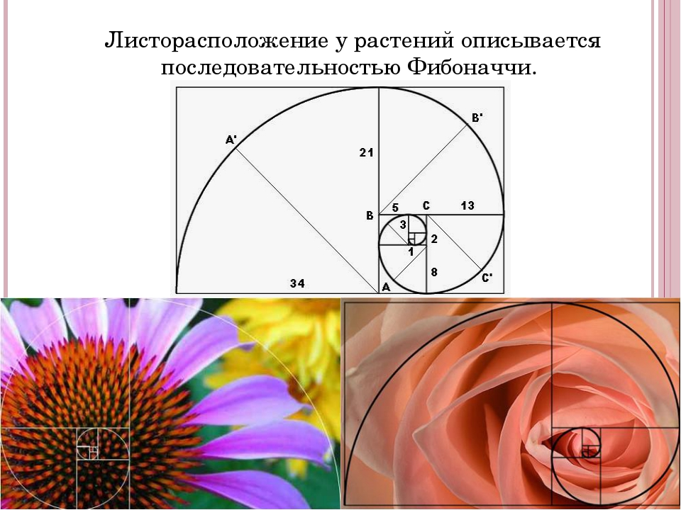 Листорасположение у растений описывается последовательностью Фибоначчи.