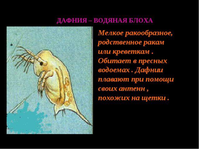 ДАФНИЯ – ВОДЯНАЯ БЛОХА Мелкое ракообразное, родственное ракам или креветкам ....