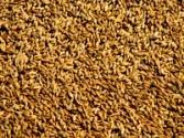 Обои желтый, пшено, поле, зерно 282494 / Раздел: Текстуры / HallPic.ru