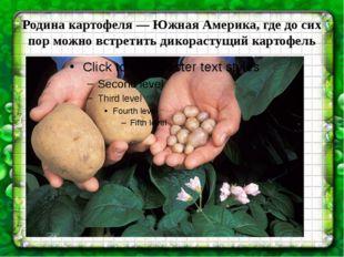 Родина картофеля—Южная Америка, где до сих пор можно встретить дикорастущий