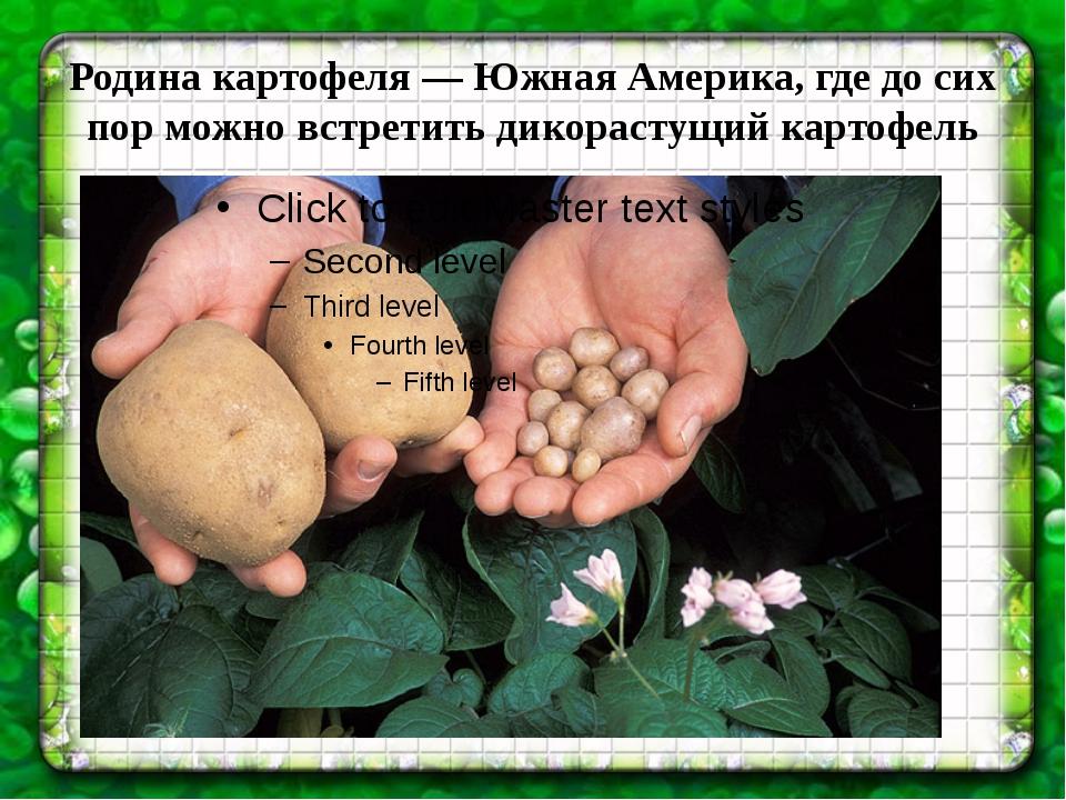 Родина картофеля—Южная Америка, где до сих пор можно встретить дикорастущий...
