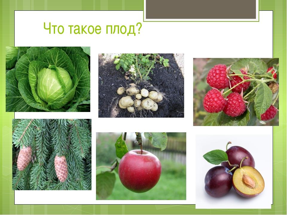 Что такое плод?