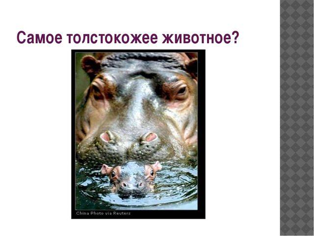 Самое толстокожее животное?