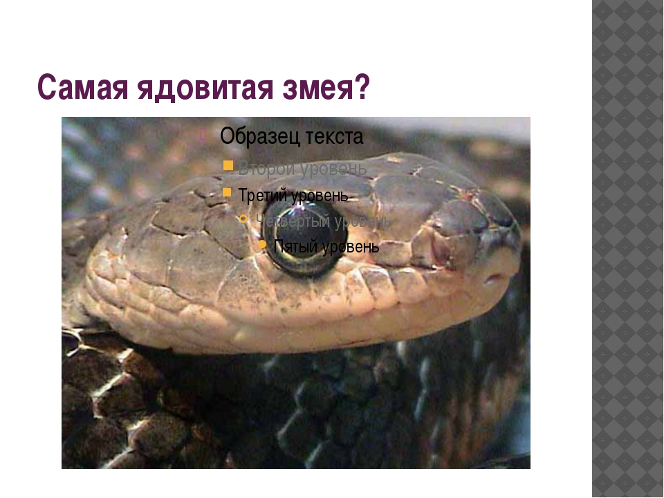 Самая ядовитая змея?