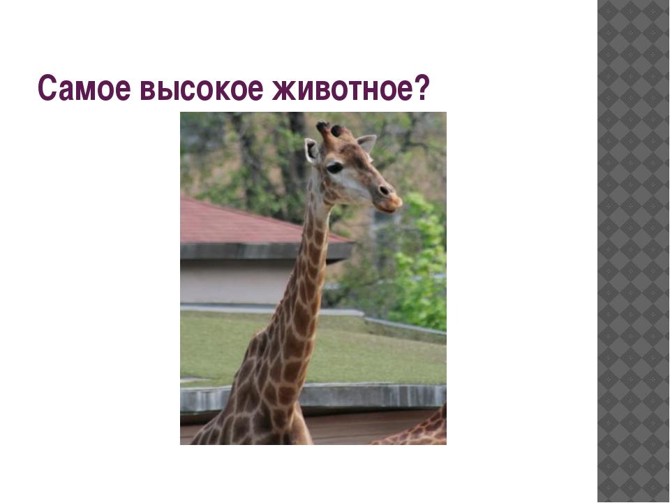 Самое высокое животное?
