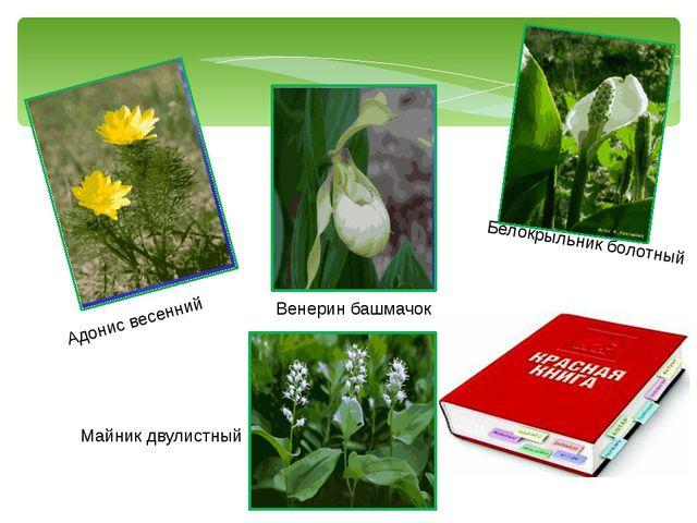 Адонис весенний Венерин башмачок Белокрыльник болотный Майник двулистный