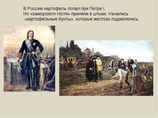 В Россию картофель попал при Петре I. Но «заморского гостя» приняли в штыки.