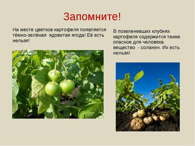 Запомните! На месте цветков картофеля появляется тёмно-зелёная ядовитая ягода...
