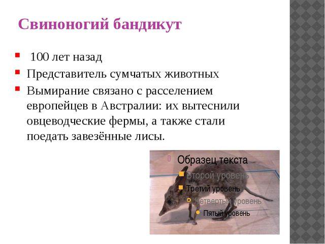 Свиноногий бандикут 100 лет назад Представитель сумчатых животных Вымирание с...