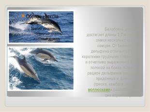 Белобокий дельфин достигает длины 2,7 м, причем самки несколько крупнее самц