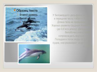 У беломордого дельфина «Клюв» и передняя часть «лба»— белые. Длина тела не пр
