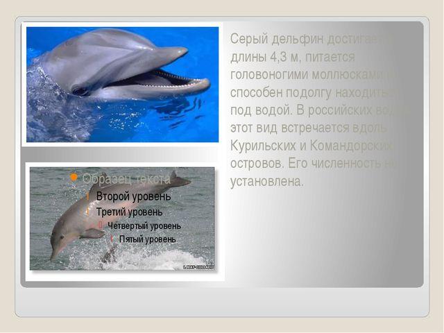 Серый дельфин достигает в длины 4,3 м, питается головоногими моллюсками и сп...