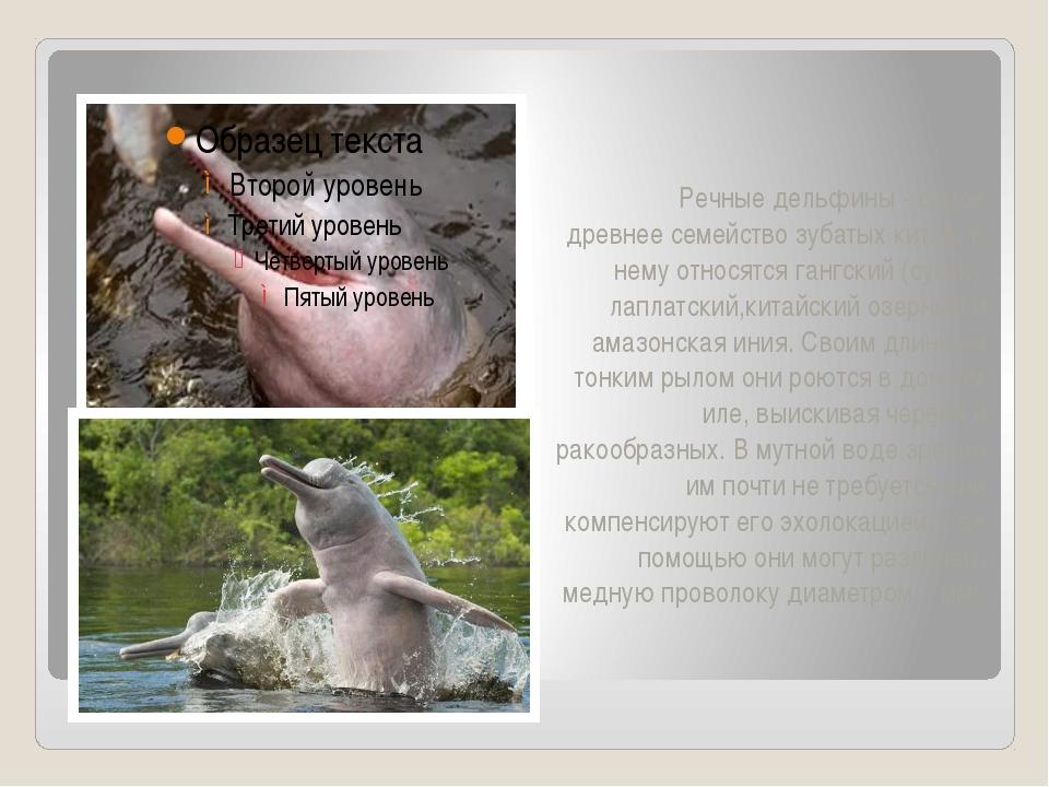 Речные дельфины - самое древнее семейство зубатых китов. К нему относятся га...