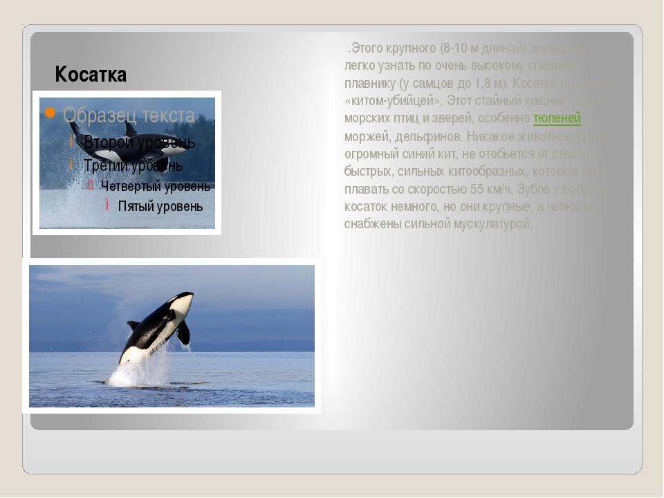 Косатка .Этого крупного (8-10 м длиной) дельфина легко узнать по очень высок...
