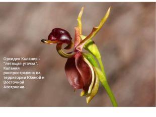 """Орхидея Калания - """"летящая уточка"""". Калания распространена на территории Южн"""
