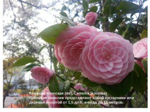 Камелия японская (лат. Camellia japonica) Японские камелии представляют собо