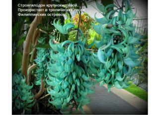 Стронгилодон крупнокистевой. Произрастает в тропических лесах Филиппинских о
