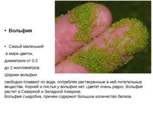 Вольфия Самый маленький в мире цветок, диаметром от 0,3 до 2 миллиметров. Ша