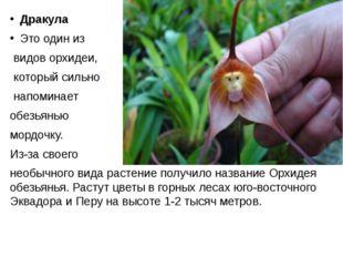 Дракула Это один из видов орхидеи, который сильно напоминает обезьянью мордо