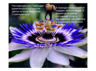 Пассифлора или Стратоцвет – удивительный по красоте цветок из рода семейства
