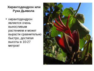 Хирантодендрон или Рука Дьявола хирантодендрон является очень выносливым раст